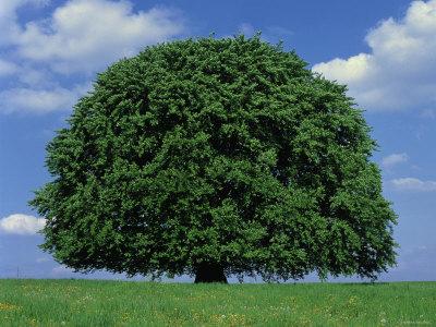 900 yaşında kayın ağacı-avrupa