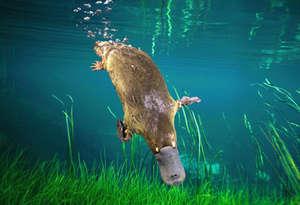 platypuslar su altında da yaşayabiliyor
