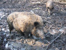sigara filtresinde domuz kanı kullanıldı