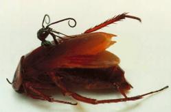 Ampulex Compressa, hamam böceğinin içinden çıkarken.