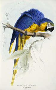 Macrocercus ararauna